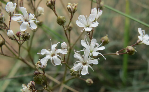 <b>Büscheliges Gipskraut - <i>Gypsophila fastigiata</i></b>