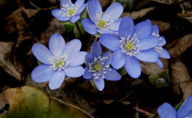 <b>Leberblümchen - <i>Hepatica nobilis</i></b>