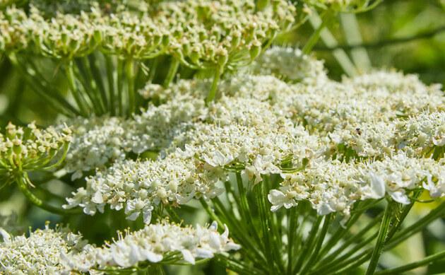 <b>Riesen-Bärenklau - <i>Heracleum mantegazzianum</i></b>