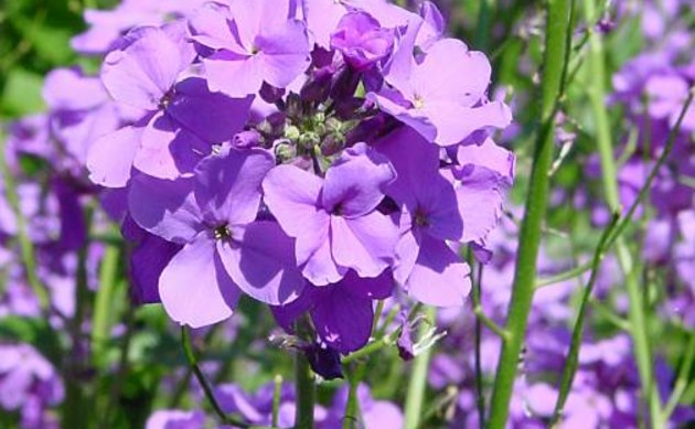 <b>Gewöhnliche Nachtviole - <i>Hesperis matronalis</i></b>