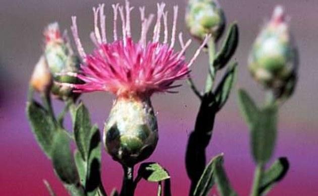 <b>Federblume - <i>Acroptilon repens</i></b>