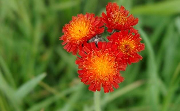<b>Orangerotes Habichtskraut - <i>Hieracium aurantiacum</i></b>