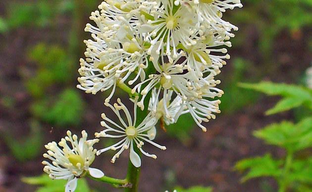 <b>Christophskraut - <i>Actaea spicata</i></b>