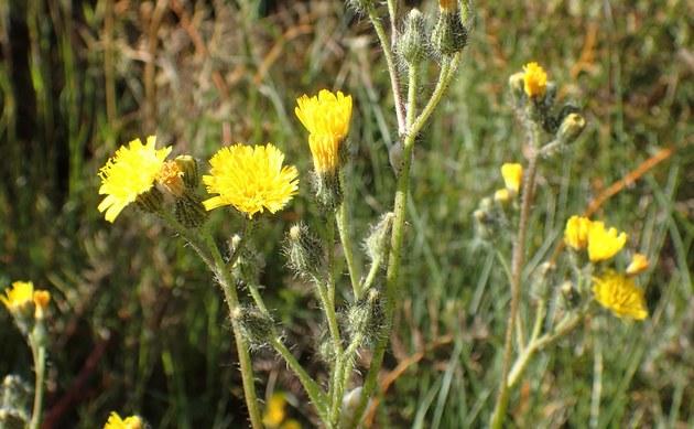 <b>Wiesen-Habichtskraut - <i>Hieracium caespitosum</i></b>