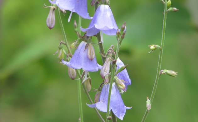 <b>Becherglocke - <i>Adenophora liliifolia</i></b>
