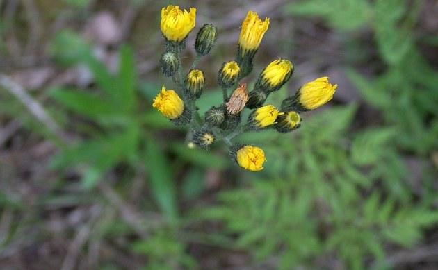 <b>Trugdoldiges Habichtskraut - <i>Hieracium cymosum</i></b>