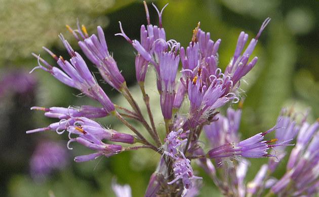 <b>Grauer Alpendost - <i>Adenostyles alliariae</i></b>