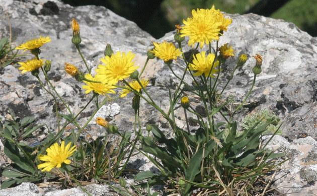 <b>Niedriges Habichtskraut - <i>Hieracium humile</i></b>