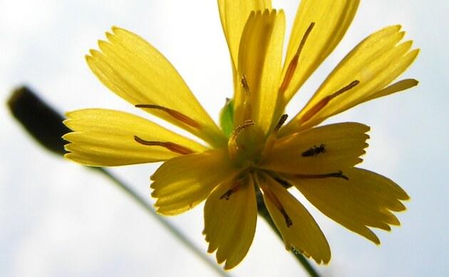 <b>Gewöhnliches Habichtskraut - <i>Hieracium lachenalii</i></b>