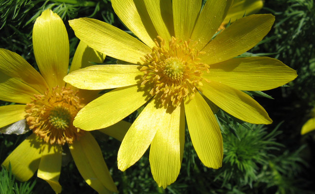 <b>Frühlings-Adonisröschen - <i>Adonis vernalis</i></b>