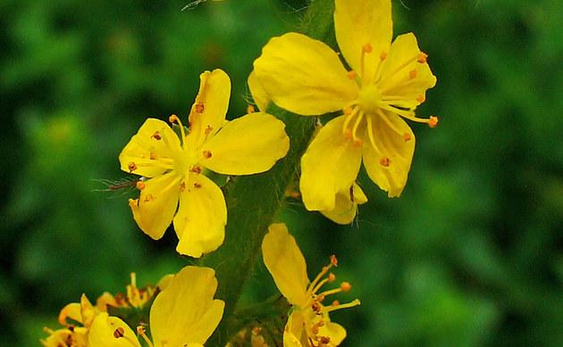 <b>Gemeiner Odermennig - <i>Agrimonia eupatoria</i></b>