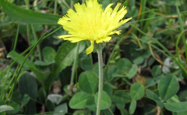 <b>Kleines Habichtskraut - <i>Hieracium pilosella</i></b>