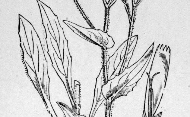 <b>Hasenlattich-Habichtskraut - <i>Hieracium prenanthoides</i></b>