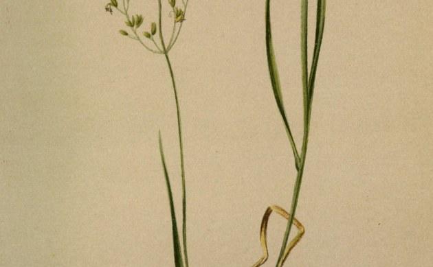 <b>Zartes Straußgras - <i>Agrostis agrostiflora</i></b>