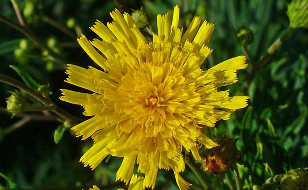 <b>Doldiges Habichtskraut - <i>Hieracium umbellatum</i></b>