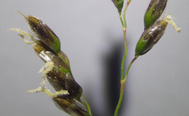 <b>Südliches Mariengras - <i>Hierochloe australis</i></b>