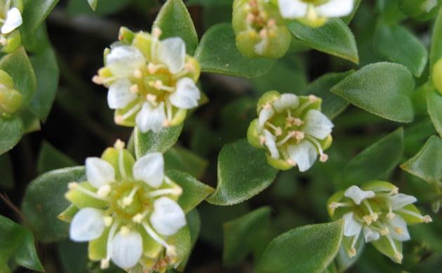<b>Salzmiere - <i>Honckenya peploides</i></b>
