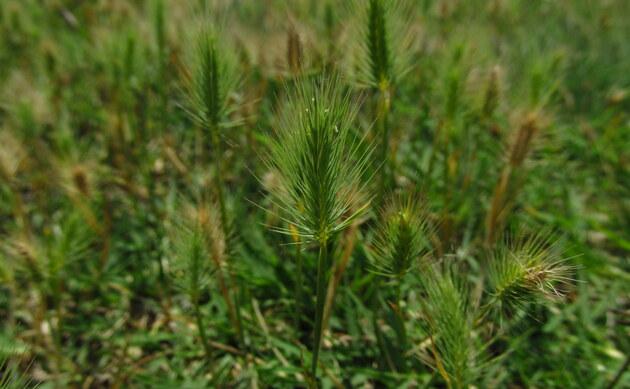 <b>Strand-Gerste - <i>Hordeum marinum</i></b>