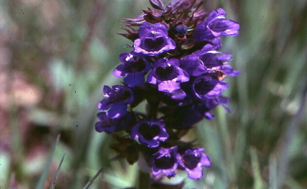 <b>Pyrenäen-Drachenmaul - <i>Horminum pyrenaicum</i></b>