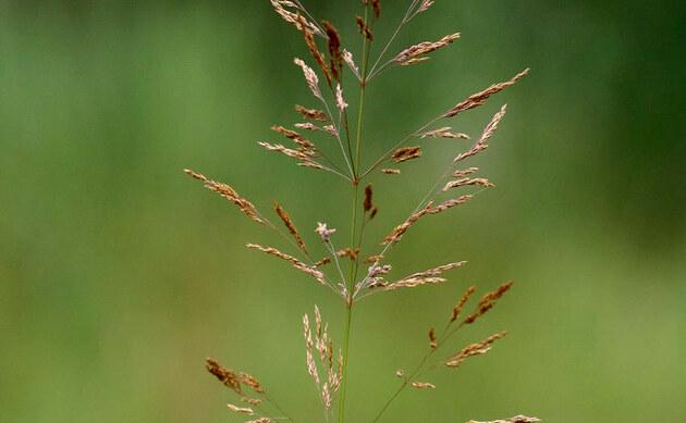 <b>Riesen-Straußgras - <i>Agrostis gigantea</i></b>