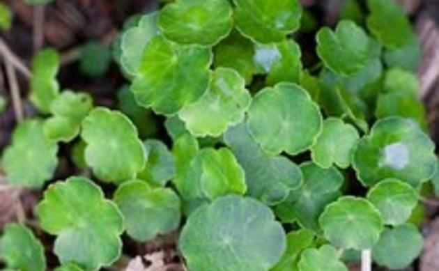 <b>Gewöhnlicher Wassernabel - <i>Hydrocotyle vulgaris</i></b>