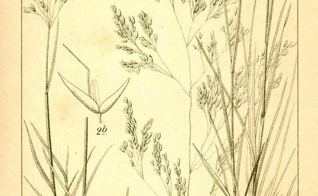 <b>Felsen-Straußgras - <i>Agrostis rupestris</i></b>