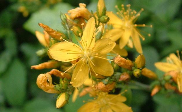 <b>Behaartes Johanniskraut - <i>Hypericum hirsutum</i></b>