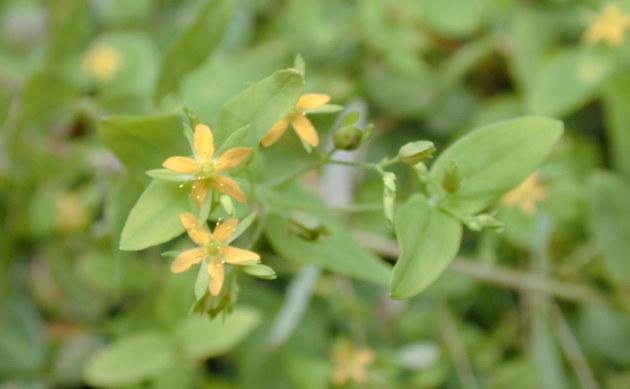 <b>Kleinblütiges Johanniskraut - <i>Hypericum mutilum</i></b>