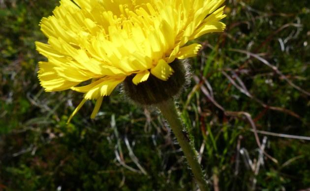 <b>Geflecktes Ferkelkraut - <i>Hypochaeris maculata</i></b>