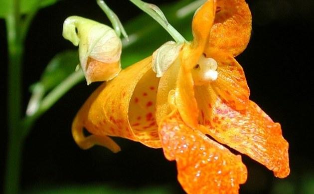 <b>Orangerotes Springkraut - <i>Impatiens capensis</i></b>