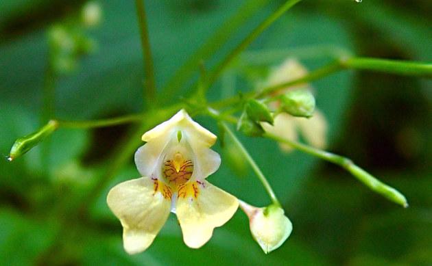 <b>Kleines Springkraut - <i>Impatiens parviflora</i></b>
