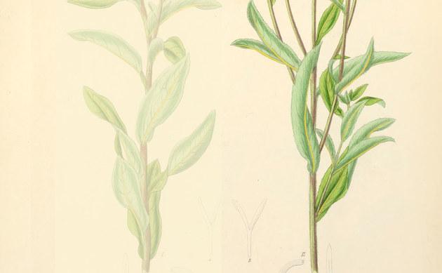 <b>Schweizer Alant - <i>Inula helvetica</i></b>