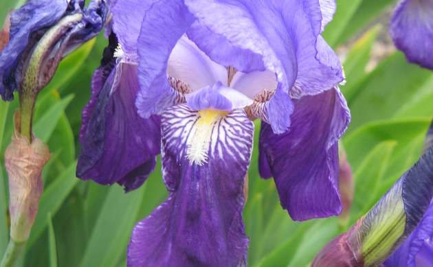 <b>Deutsche Schwertlilie - <i>Iris germanica</i></b>