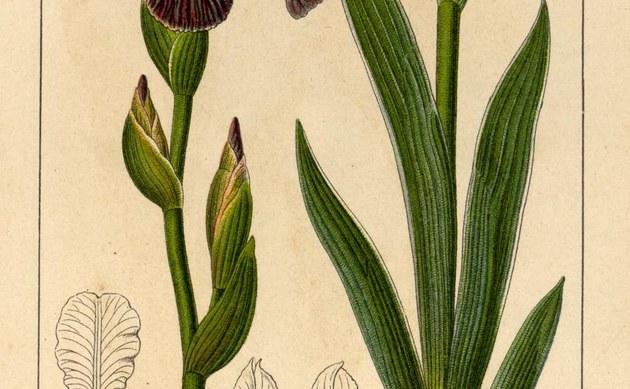 <b>Holunder-Schwertlilie - <i>Iris sambucina</i></b>