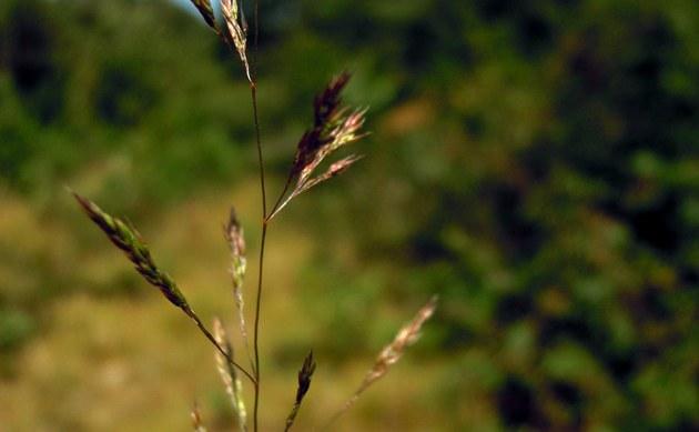 <b>Sand-Straußgras - <i>Agrostis vinealis</i></b>