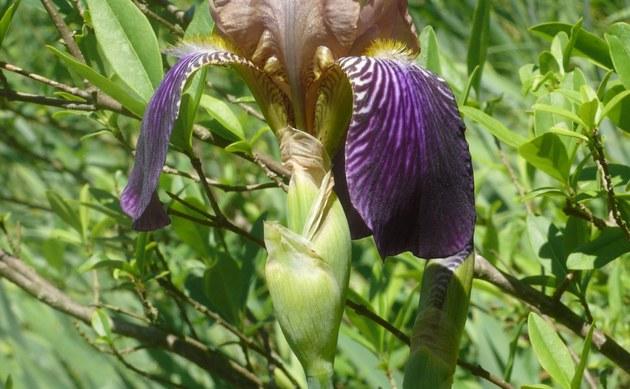 <b>Gelbliche Schwertlilie - <i>Iris squalens</i></b>