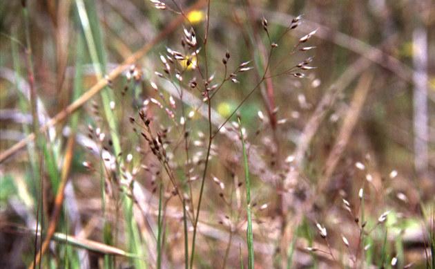 <b>Nelken-Haferschmiele - <i>Aira caryophyllea</i></b>