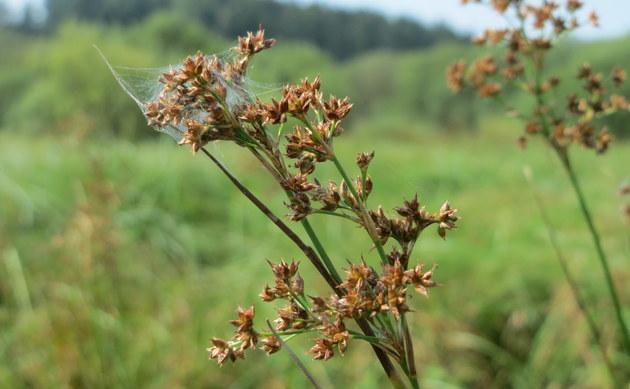 <b>Spitzblütige Binse - <i>Juncus acutiflorus</i></b>
