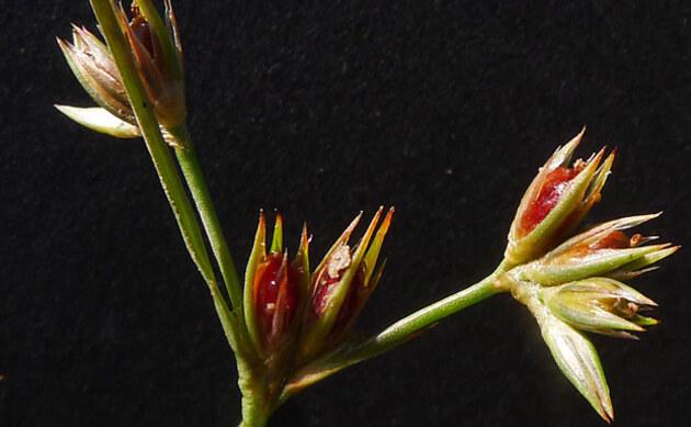 <b>Zwerg-Binse - <i>Juncus pygmaeus</i></b>