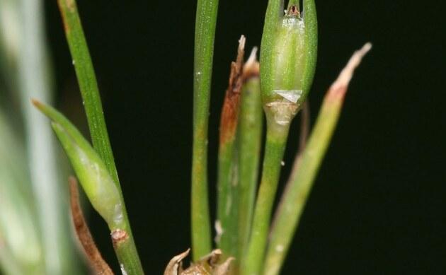 <b>Frosch-Binse - <i>Juncus ranarius</i></b>