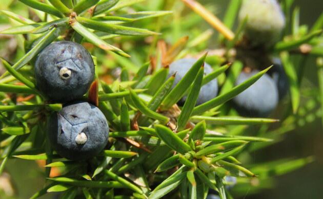 <b>Gemeiner Wacholder - <i>Juniperus communis</i></b>