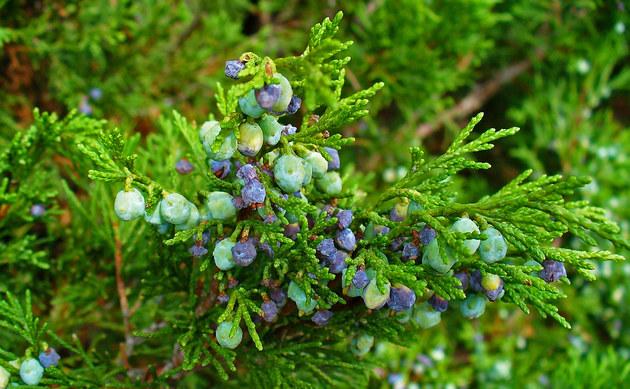 <b>Stink-Wacholder - <i>Juniperus sabina</i></b>