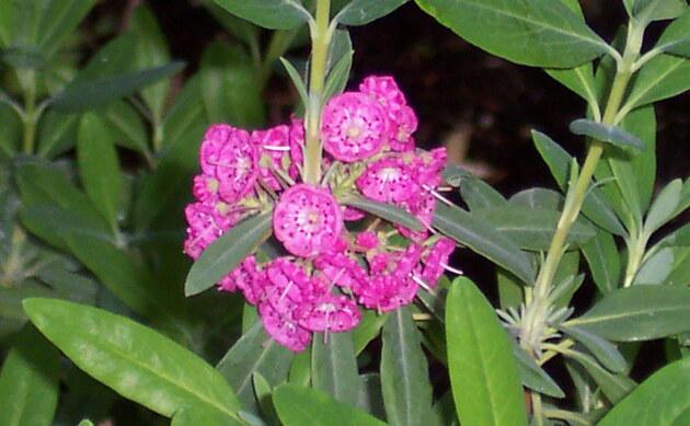 <b>Schmalblättrige Lorbeerrose - <i>Kalmia angustifolia</i></b>