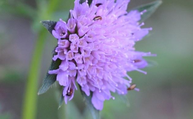 <b>Wald-Witwenblume - <i>Knautia dipsacifolia</i></b>