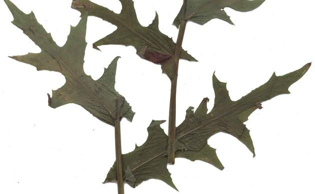 <b>Eichen-Lattich - <i>Lactuca quercina</i></b>