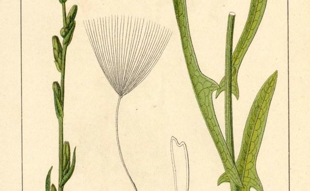 <b>Weidenblättriger Lattich - <i>Lactuca saligna</i></b>