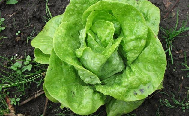 <b>Grüner Salat - <i>Lactuca sativa</i></b>