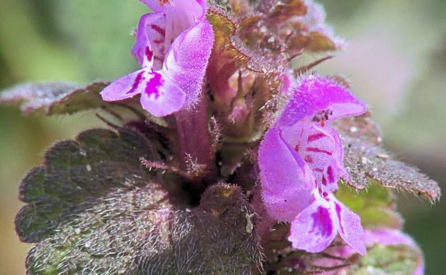 <b>Purpurrote Taubnessel - <i>Lamium purpureum</i></b>