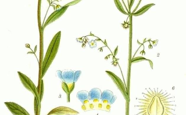 <b>Wald-Igelsame - <i>Lappula deflexa</i></b>