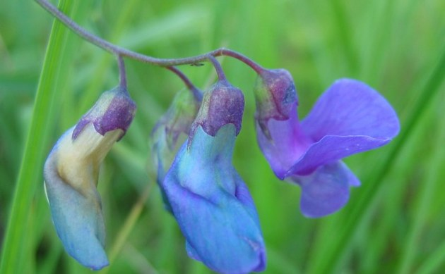 <b>Sumpf-Platterbse - <i>Lathyrus palustris</i></b>
